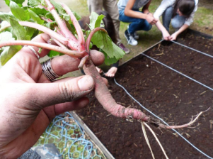 Récolte de radis en avril 2016